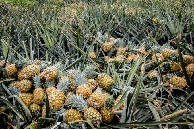 pineapple_6